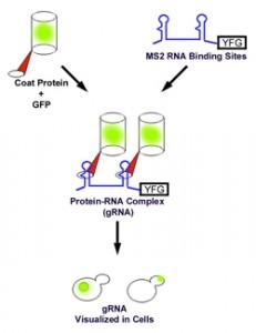 gRNA_system